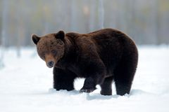 走在有雪和冰的湖附近的美丽的棕色哺乳动物 在自然木头,草甸栖所的危险生物 野生生物栖所 免版税图库摄影