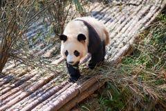 走在木头的幼小熊猫 库存图片