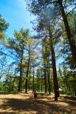 走在杉木森林中间 免版税库存照片