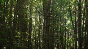 走在杉木森林里的女孩徒步旅行者 影视素材