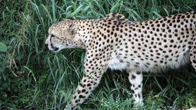 走在树荫下的猎豹 库存照片