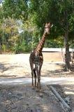 走在树荫下的长颈鹿在动物园 全长长颈鹿 正面图 免版税库存图片
