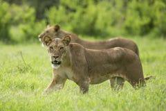 走在桑布鲁肯尼亚的非洲狮子 免版税库存图片