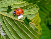 走在桤木叶子的红色和黑瓢虫 库存图片
