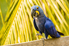 走在棕榈前面的特写镜头愉快的风信花金刚鹦鹉 免版税库存照片