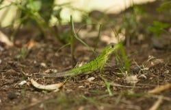 走在森林地板上的小鬣鳞蜥 免版税图库摄影