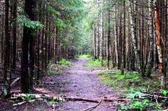 走在森林夏天早晨木头 免版税库存照片
