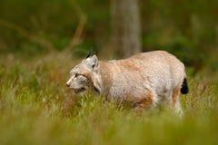 走在森林道路的天猫座 野生猫天猫座在自然森林栖所 欧亚天猫座在森林里,掩藏在草 剪切 图库摄影