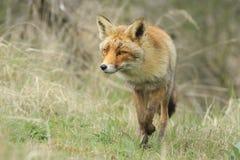 走在森林里的一只野生镍耐热铜狐狸狐狸的正面图 免版税库存照片