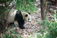 走在森林里的大熊猫 免版税库存照片