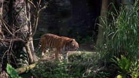走在森林里的孟加拉老虎的慢动作在树之间 自然野生生物 股票录像