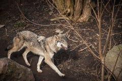 走在森林里的狼 免版税库存图片