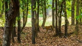 走在森林里的老虎 免版税库存图片