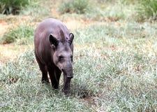 走在森林里的贝尔德的貘寻找食物 免版税库存图片