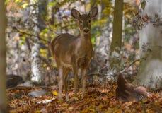 走在森林附近的母鹿 免版税库存图片