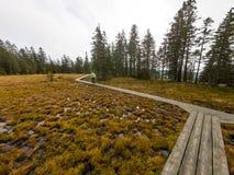 走在横跨沼泽的一条木木板走道的女性徒步旅行者 库存图片