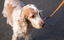 走在橙色皮带的橙色软羊皮的英国猎犬 免版税库存图片