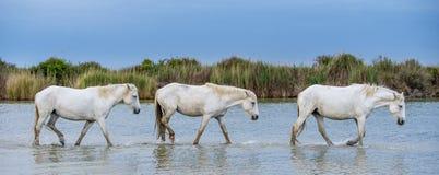 走在水的白色公马 免版税库存图片