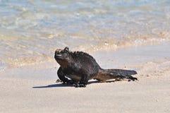 走在水,加拉帕戈斯群岛,厄瓜多尔的边缘的海产鬣蜥蜴 免版税库存图片