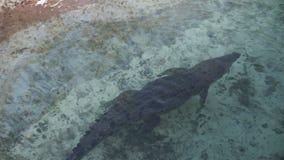 走在水,动物园场面里面的鳄鱼 股票录像