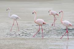 走在沙子的四群桃红色火鸟 免版税库存照片