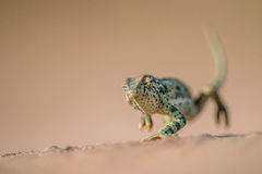 走在沙子的挡水板收缩的变色蜥蜴 图库摄影