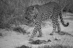 走在沙子路的豹子 免版税库存照片