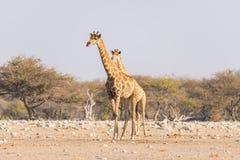 走在沙漠平底锅的灌木的长颈鹿 野生生物徒步旅行队在埃托沙国家公园,主要旅行目的地在纳米比亚 库存照片