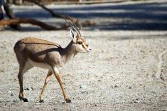 走在沙漠的苗条有角的瞪羚 免版税库存照片