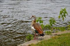 走在河主要的幼小鸭子 免版税库存图片