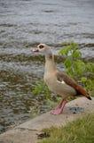 走在河主要的幼小鸭子 免版税库存照片