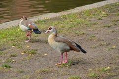 走在河主要的幼小鸭子 库存照片