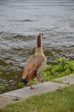 走在河主要的幼小鸭子 免版税图库摄影