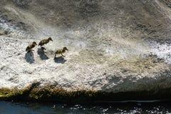 走在河岩石的三只鸭子 免版税库存照片