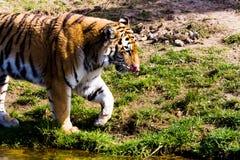 走在河旁边的老虎 免版税库存图片