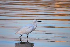 走在河附近的鸟搜寻鱼 免版税库存图片