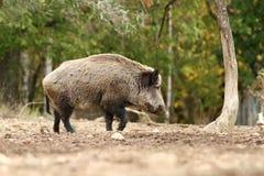走在沼地的大野公猪 免版税库存照片