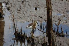 走在沼泽地的印地安池塘苍鹭 库存照片