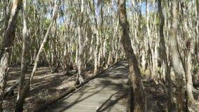 走在沼泽木板走道在马偕中,啜泣的平装书Melaleuca Leucadendra,澳大利亚 影视素材