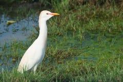 走在沼泽的白色牛背鹭 库存照片