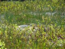 走在沼泽的白色鸟 免版税库存照片