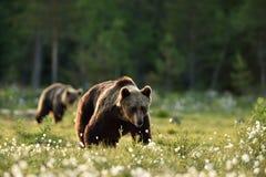 走在沼泽风景的两头熊 免版税图库摄影