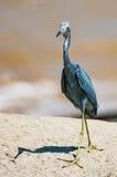 走在沿海边的岩石的小的蓝色苍鹭 免版税图库摄影
