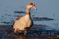 走在泥的埃及鹅 免版税图库摄影