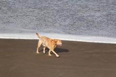 走在海前面的海滩的白肤金发的实验室 库存照片