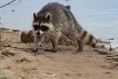 走在海岸线的浣熊 免版税图库摄影