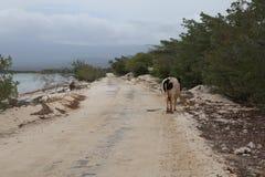 走在海洋附近的母牛 图库摄影