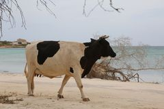 走在海洋附近的母牛 免版税库存照片