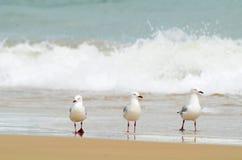 走在海浪海滩中水的三只海鸥  免版税库存图片