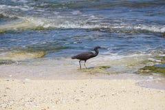 走在海滩的一块生苔石头的鸟在巴厘岛印度尼西亚 库存图片